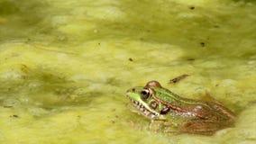 Rã comum, sentando-se na borda e no salto da lagoa do jardim Foto de Stock