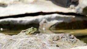 Rã comum, sentando-se na borda e no salto da lagoa do jardim Fotografia de Stock