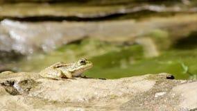 Rã comum, sentando-se na borda e no salto da lagoa do jardim Imagem de Stock
