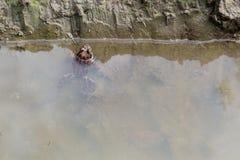 Rã da foto na lagoa, em uma poça fotos de stock royalty free