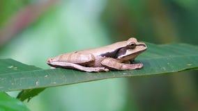 Rã de árvore mascarada, phaeota Peched de Smilisca em uma folha Costa Rica foto de stock