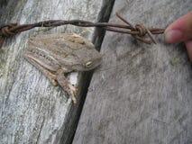Rã de árvore na madeira Imagem de Stock