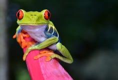 A rã de árvore vermelha do olho empoleirou a flor roxa, cahuita, Costa-Rica
