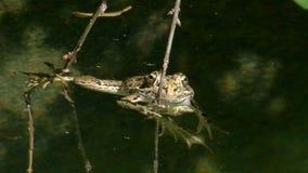 Rã de grama na lagoa vídeos de arquivo