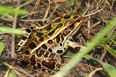 Rã de leopardo do norte (pipiens de Rana) Foto de Stock