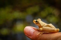 Rã de Madagáscar Fotos de Stock Royalty Free