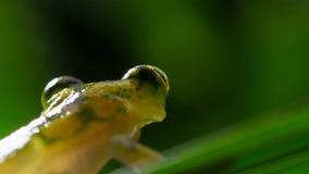rã de vidro tropical da floresta tropical das Amazonas, Hyalinobatrachium Iaspidiense Animal exótico bonito com uma barriga trans foto de stock