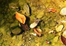 Rã em caças da água para o erro Fotografia de Stock Royalty Free