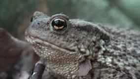 Rã em Forest Closeup, banho de sol nas folhas, opinião macro do sapo dos animais na madeira filme