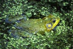 Rã em uma lagoa Imagem de Stock