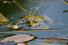 A rã está olhando-o de uma lagoa Fotografia de Stock Royalty Free