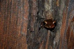 Rã marrom pequena em uma árvore fotografia de stock