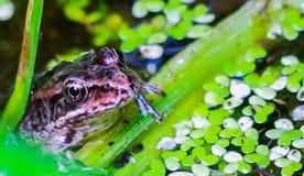 Rã meia fora da água, descansando em uma planta, Washington ocidental fotografia de stock