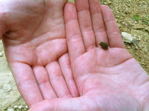 Rã minúscula do bebê nas mãos Imagem de Stock Royalty Free