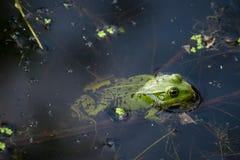 Rã na lagoa Imagens de Stock Royalty Free