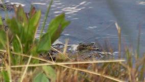 Rã no lago leva a cabo um besouro ou as caças de uma mosca comem um inseto filme
