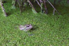 Rã no pântano entre duckweeds Imagens de Stock