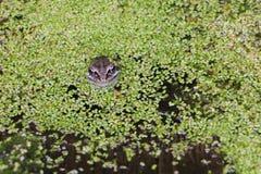 Rã no pântano entre duckweeds Fotografia de Stock