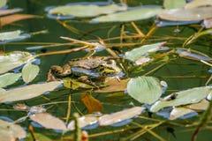 Rã que descansa em uma licença em uma lagoa Fotos de Stock Royalty Free
