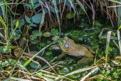Rã que hidding na lagoa frondosa imagens de stock