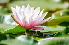 Rã sob o lírio de água da flor Fotos de Stock