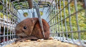 Rötel老鼠 免版税库存图片