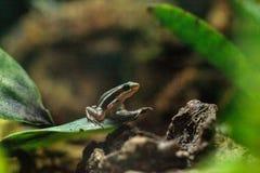 Rã Tricolor Epipedobates do dardo do veneno tricolor Imagem de Stock