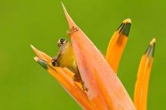 Rã tropica Stauffers Treefrog, staufferi de Scinax, assento escondido na flor alaranjada da flor Rã no habi tropico da floresta d imagem de stock