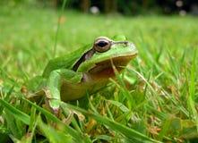 Rã verde Imagem de Stock