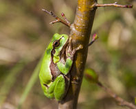 Rã verde da beleza em um ramo Fotografia de Stock Royalty Free