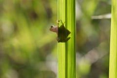 Rã verde minúscula em Reed Poised verde a saltar imagem de stock