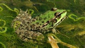 Rã verde na lagoa vídeos de arquivo