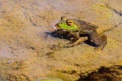 Rã verde na lagoa Fotos de Stock