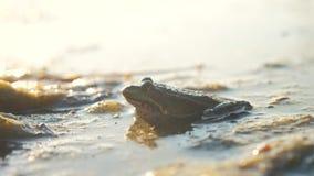 Rã verde na lagoa em um pântano Estilo de vida de Rana Esculenta rã na natureza na água Conceito do animal selvagem vídeos de arquivo