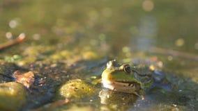 Rã verde na lagoa em um pântano Estilo de vida Rana esculenta Rã na natureza na água Conceito selvagem animal video estoque