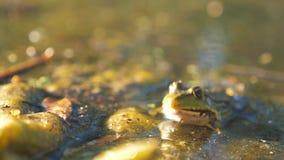 Rã verde na lagoa em um pântano Estilo de vida de Rana Esculenta rã na natureza na água conceito selvagem animal video estoque