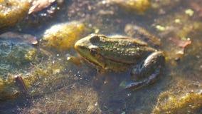 Rã verde na lagoa em um pântano Rana esculenta rã na natureza do estilo de vida na água conceito selvagem animal vídeos de arquivo
