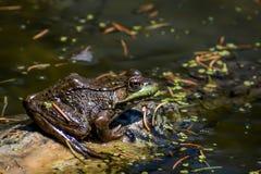 Rã verde que senta-se no log nas molas de Paradise foto de stock royalty free