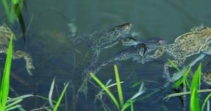 Rãs que nadam no lago na mola - período da reprodução video estoque