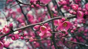 Ręka prowadzi ciebie na prasowanie desce i muska rzeczy Chaenomeles japonica, Japońska Kwiatonośna pigwa zbiory