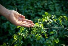 Räcka att bevattna att hälla på den gröna växten i solskenbakgrund royaltyfria foton