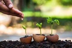 Räcka att bevattna den unga växten som växer i äggskal Royaltyfri Fotografi