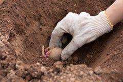 Räcka att plantera potatisen in i jordningen Arkivbilder