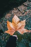 Räcka att rymma ett stupat blad av platanusen på berget royaltyfri fotografi