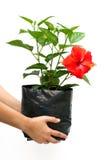Räcka den hållande övre hibiskusblomman i en blommapåse royaltyfria foton