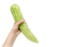 Räcka den hållande kalebassen, den bittra gurkan eller balsampäronet på vitbaksida Royaltyfri Bild