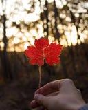 Räcka den hållande röda lönnlövet på solig bakgrund för höst royaltyfri bild