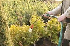 Räcka den trädgårds- slangen med en vattensprejare som bevattnar de barrträds- växterna i barnkammaren Royaltyfria Bilder