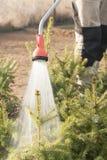 Räcka den trädgårds- slangen med en vattensprejare som bevattnar de barrträds- växterna i barnkammaren Arkivfoto