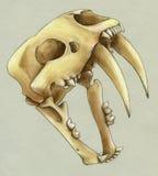 Räcka den utdragna scullen av en tandad tiger för slocknad sabel Arkivbild